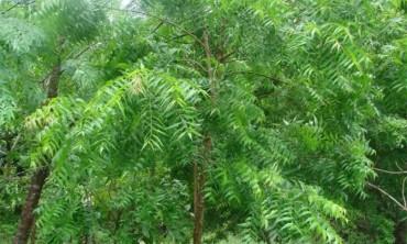 اهمية أشجار النيم Neem tree